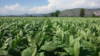 """""""Il Tabacco tra garanzia di reddito agricolo e sostenibilità"""""""