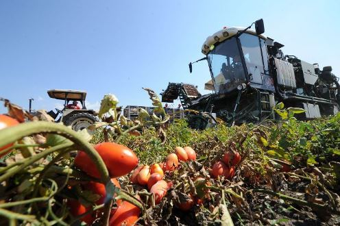 Pomodoro da industria, Confagricoltura chiede OI unico